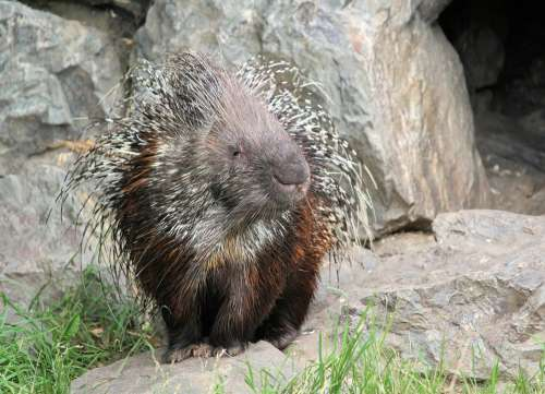 Porcupine Quills Spines Animal Rodent Mammal