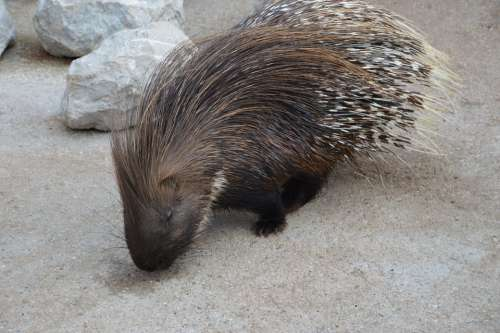 Porcupine Rodent Needle Spiked