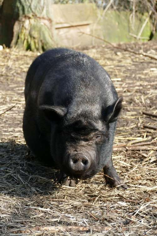 Potbellied Pig Pig Hog Long-Haired Fauna Pet Farm