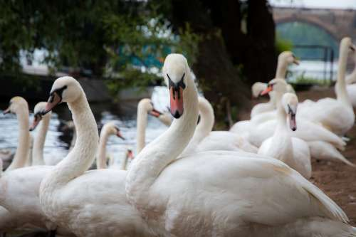 Prague Bird Swan The Vltava River Nature Animal