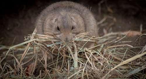 Prairie Dog Animal Nature Hay Eat Cute Hamsters