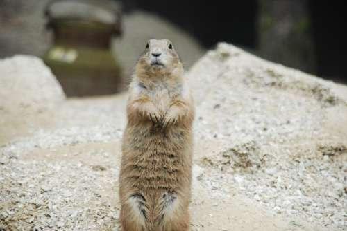 Prairie Dog Rodent Sand