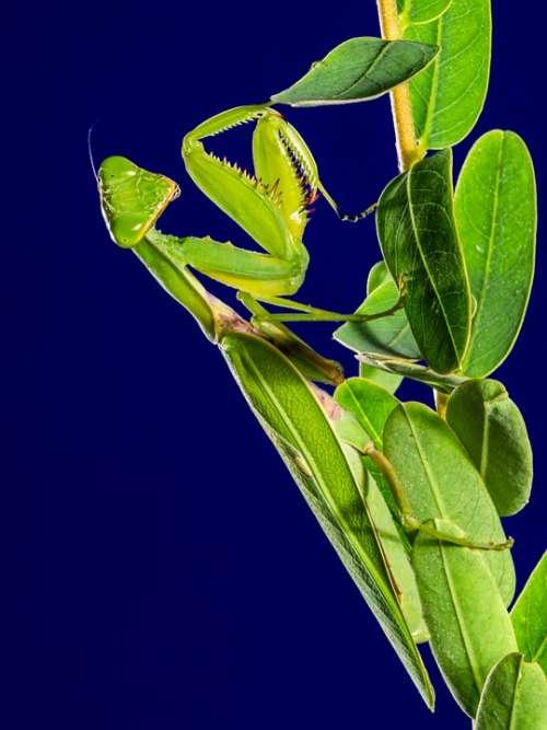 Praying Mantis Insect Fishing Locust Green Close Up