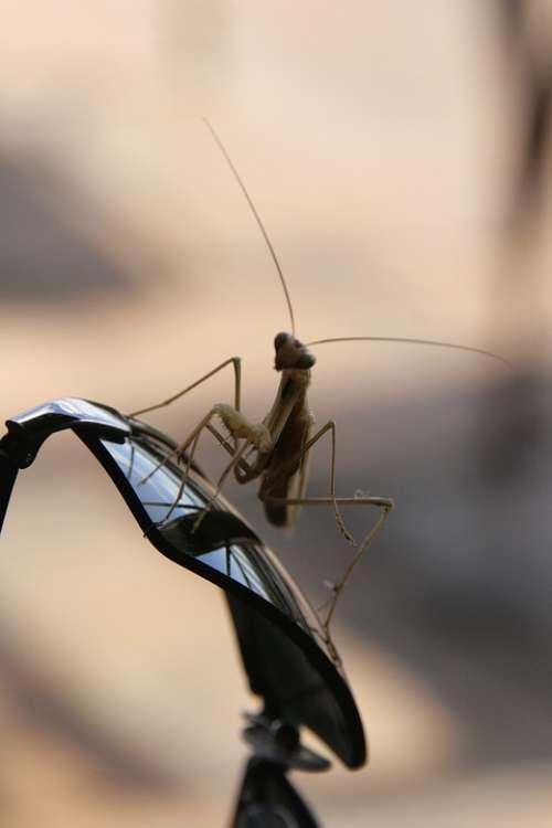 Praying Mantis Africa Glasses