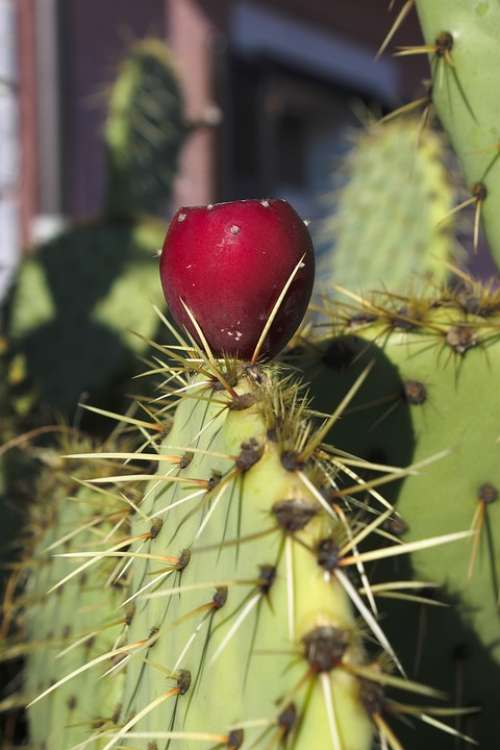 Prickly Pear Cactus Cactus Greenhouse Red Sting