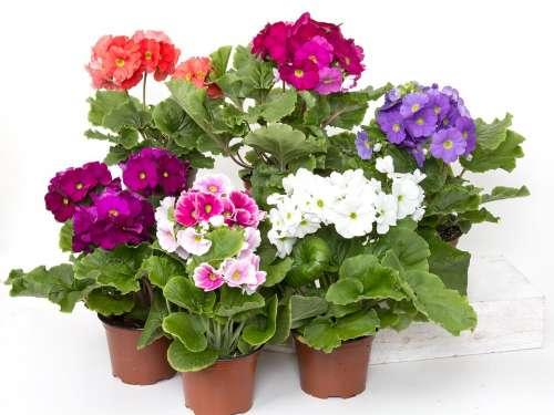 Primroses Cup Primrose Colorful Flower Plant