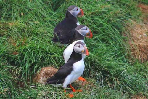 Puffin Iceland Rocky Coast Birds Nature Cliffs