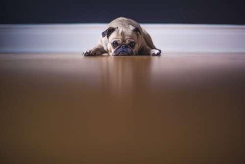 Pug Dog Puppy Grumpy Cute Animal Pet Wrinkly