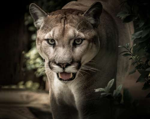 Puma Feline Predator Wild Portrait Face Eyes