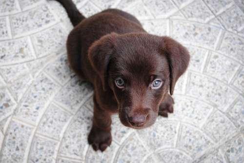 Puppy Labrador Purebred Retriever Dog Pet Brown