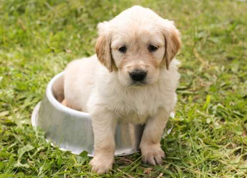 Puppy Golden Retriever Dog In The Free Young Pet