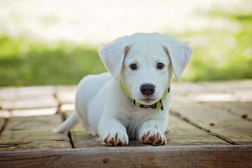 Puppy Dog Pet Animal Cute White Adorable Canine
