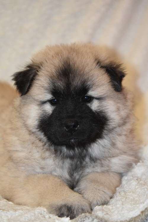 Puppy Dog Dog Eurasier Pup Doggy Cute Adorable