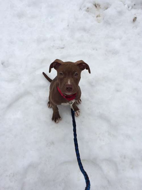 Puppy Dog Pit Bull Adorable Winter Snow Leash