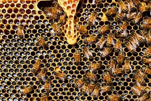 Beehive Bees Honeycomb Honey Bee Buckfast Bees