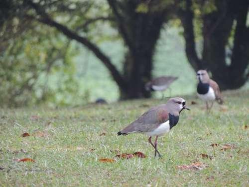 Quero-Quero Bird Tropical Nature Southern Lapwing