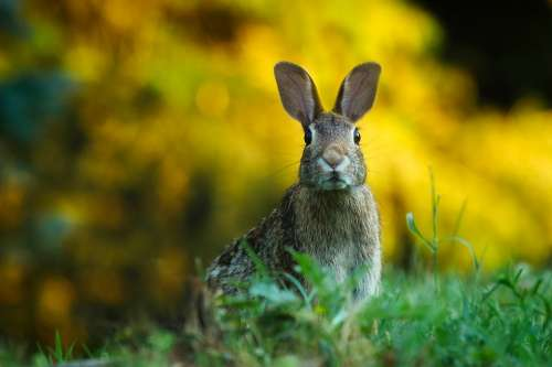 Rabbit Hare Animal Wildlife Bunny Macro Closeup