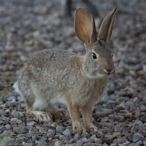 Rabbit Animal Bunny Cute Nature Fur Mammal Ears