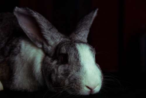 Rabbit Bunny Hare Pet Animal Mammal Furry