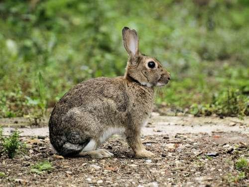Rabbit Wildlife Sitting Listening Outdoors