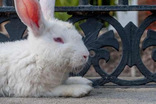 Rabbit White Resting Mammal Pet Domestic