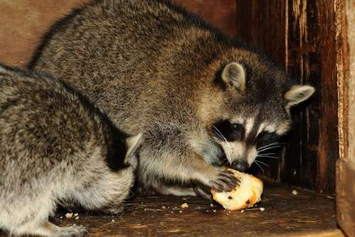 Raccoon Animal Wildlife Eating