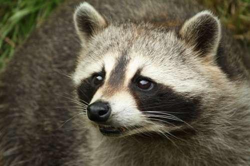Raccoon Head Animals Portrait Zoo