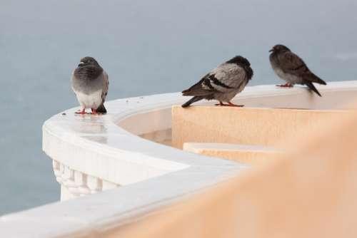 Rain Pigeons Wet Parapet Mirroring White Rounding