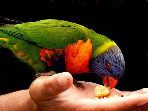 Rainbow Lorikeet Bird Hand Feeding Bird Kindness