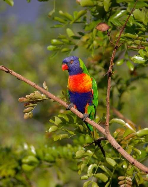 Rainbow Lorikeet Parrot Colourful Bird Australian