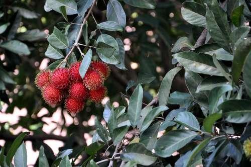 Rambutan Fruit Tropical Asian Ripe
