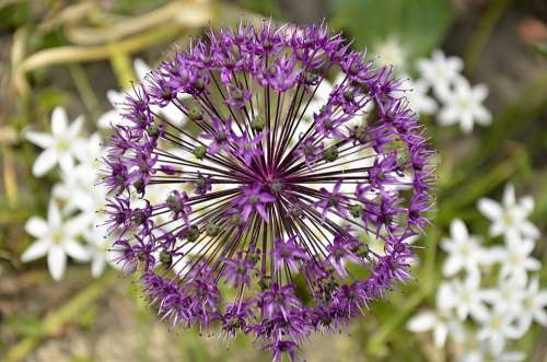 Ramsons Violet Flowers Garden Fresh Green Garlic