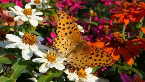 Range Or Service Crape Myrtle Flowers And Butterfly