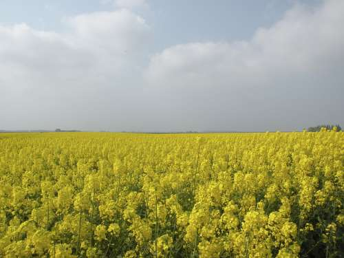 Rapeseed Field Nature Groningen