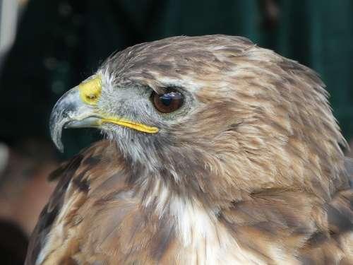 Raptor Nature Bird Of Prey Animal Portrait