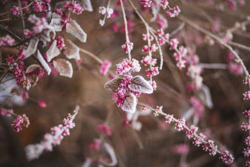 Raspberries Fruit Pink Leaves Chilly Bush Nature