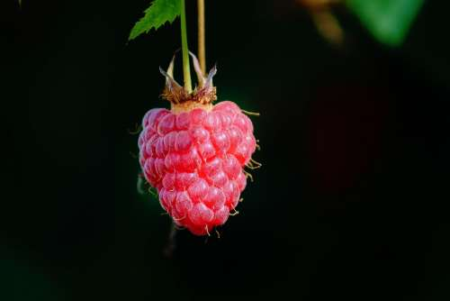 Raspberry Individually Depend Himbeerstrauch Red