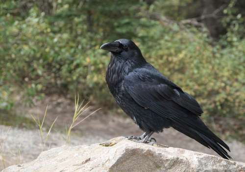 Raven Crow Bird Black Flying Raven Bird