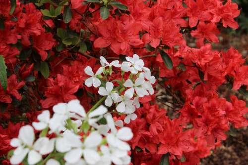 Red White Azalea Nature Blossom Bloom Spring