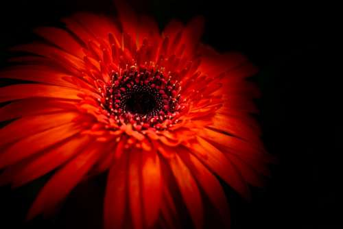 Red Daisy Flower Floral Summer Background Nature