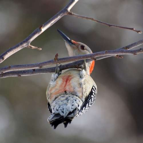 Red Bellied Woodpecker Woodpecker Branch Bird