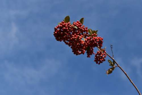 Red Berries Cotoneaster Plants Shrubs Nature