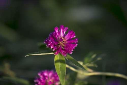 Red Clover Flower Summer Nature Clover