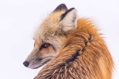 Red Fox Wildlife Portrait Nature Predator