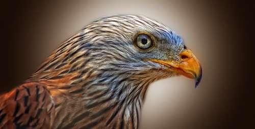 Red Kite Bird Of Prey Milan Raptor Bird