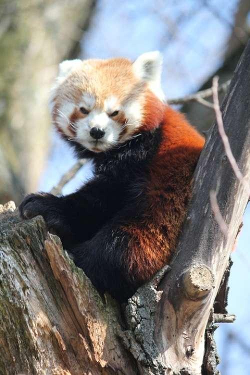 Red Panda Tree Animal Sitting Zoo Peace