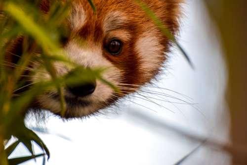 Red Panda Panda Animal Bear Bear Cat Zoo Bamboo