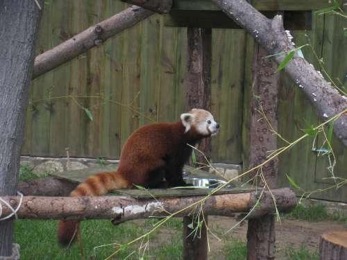 Red Panda Nyíregyháza Zoo