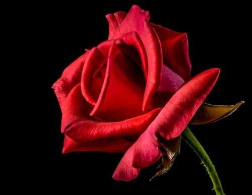 Red Rose Rose Rose Bloom Blossom Bloom Flower Red