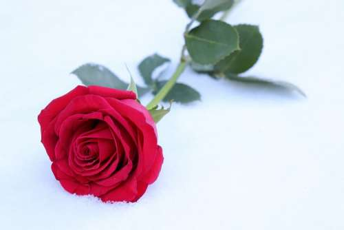 Red Rose In Snow Winter Romantic Snowflakes Frozen